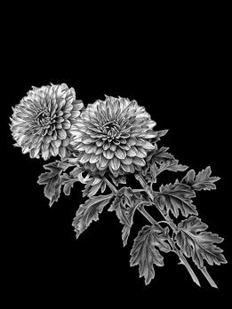 Хризантемы. Арт 15